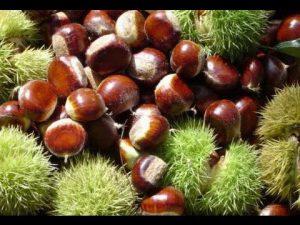 เกาลัดจีน Chinese Chestnut Kaolud