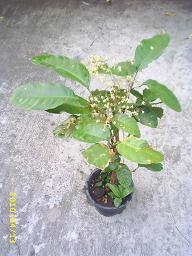 การปลูกเกาลัด ต้นเกาลัด เกาลัด Chestnut Kaolud